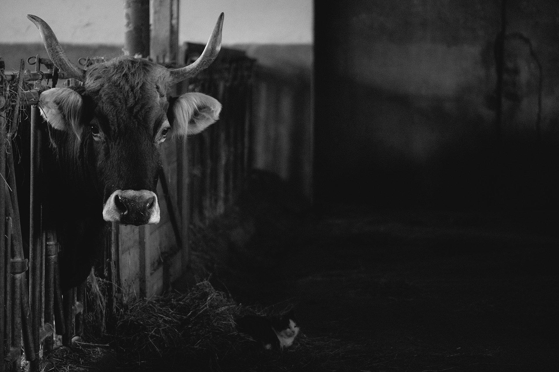 Коровавирус