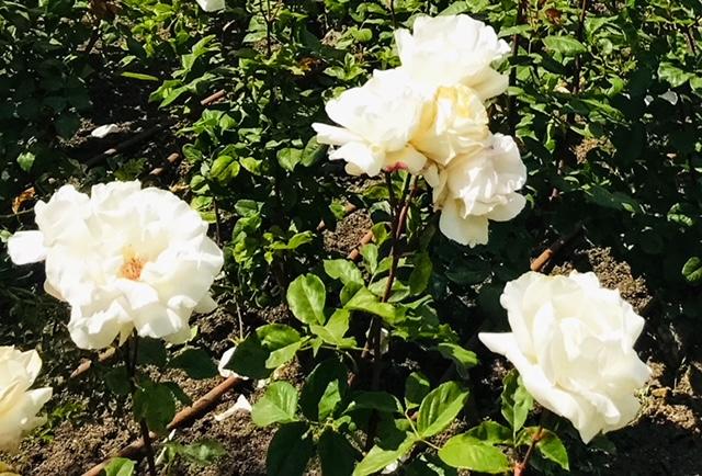 Три розы в целлофане